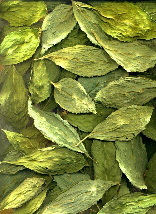 Sage Wisdom Botanicals - The premier source for Salvia divinorum